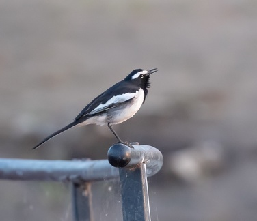 Bergeronnette indienne Motacilla maderaspatensis - White-browed Wagtail