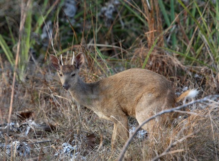 Cariacou brun (Mazama gouazoubira, Common Brown Brocket)