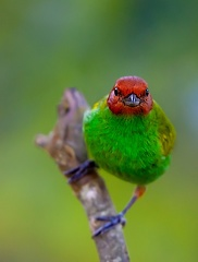 Calliste rouverdin Tangara gyrola - Bay-headed Tanager