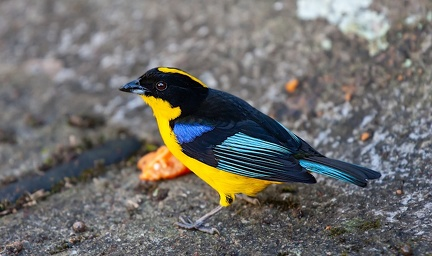 Tangara à nuque jaune Anisognathus somptuosus - Blue-winged Mountain Tanager