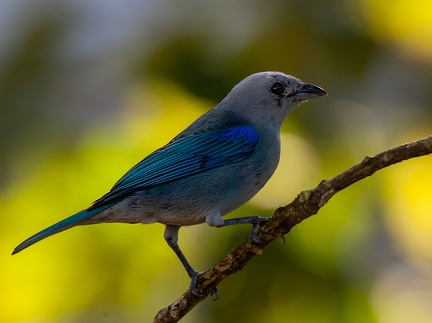Tangara évêque Thraupis episcopus - Blue-grey Tanager