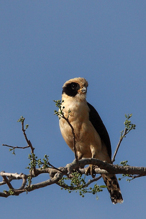 Macagua rieur Herpetotheres cachinnans - Laughing Falcon