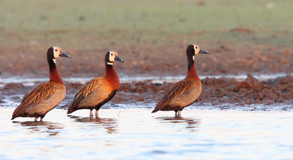 Dendrocygne veuf Dendrocygna viduata - White-faced Whistling Duck