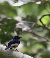 Tchitrec azuré Hypothymis azurea - Black-naped Monarch