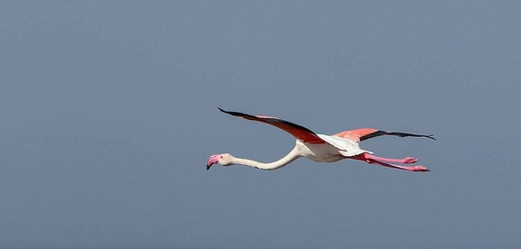Flamant rose Phoenicopterus roseus - Greater Flamingo