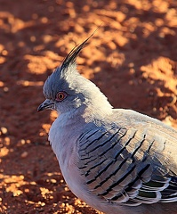 Colombine longup Ocyphaps lophotes - Crested Pigeon