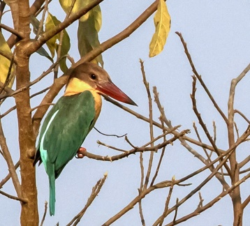 Martin-chasseur gurial Pelargopsis capensis - Stork-billed Kingfisher