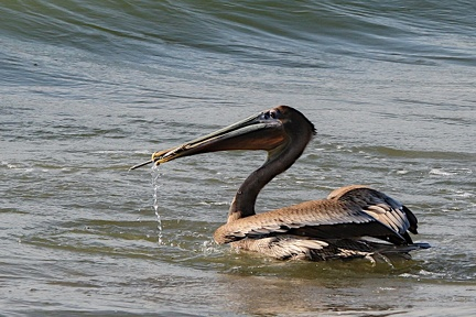 Pélican brun Pelecanus occidentalis - Brown Pelican