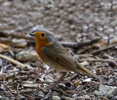 Rougegorge familier Erithacus rubecula - European Robin