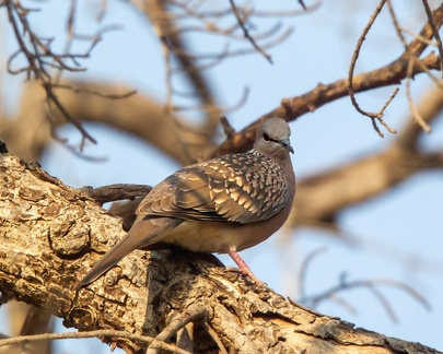 Tourterelle des bois Streptopelia turtur - European Turtle Dove