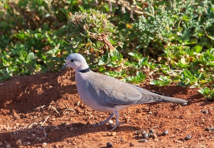 Tourterelle du Cap Streptopelia capicola - Ring-necked Dove