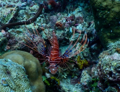 Pterois Volitans (Poisson-Scorpion)