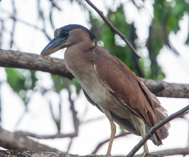 Savacou huppé Cochlearius cochlearius - Boat-billed Heron